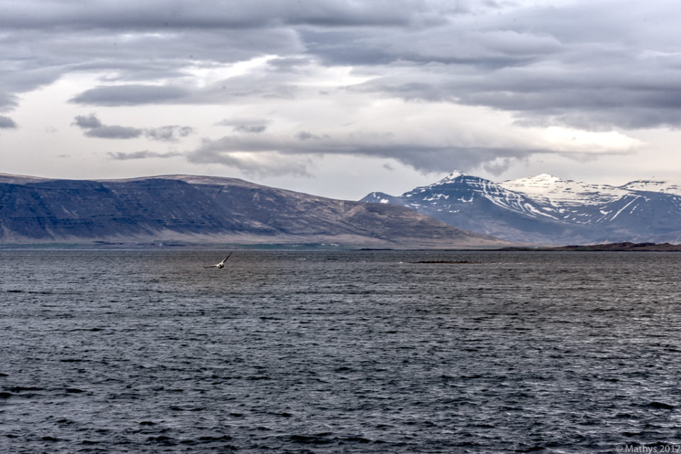 Islande, Reykjavik, Seltjarnarnes, balade, soleil de minuit, printemps, faune, montagne, oiseau, baie, océan Atlantique, neige, cimes, aventure